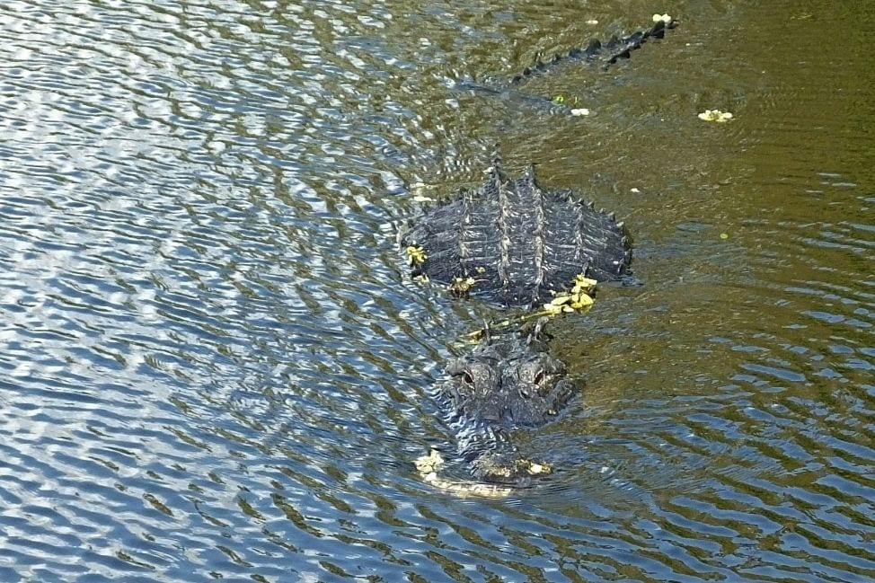 Alligator Safety tips Florida